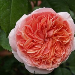 Rose CHIPPENDALE