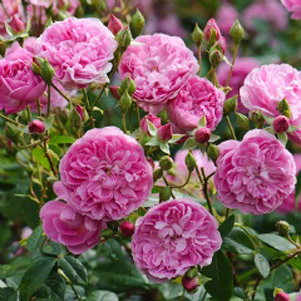 Rose HARLOW CARR (Aushouse)