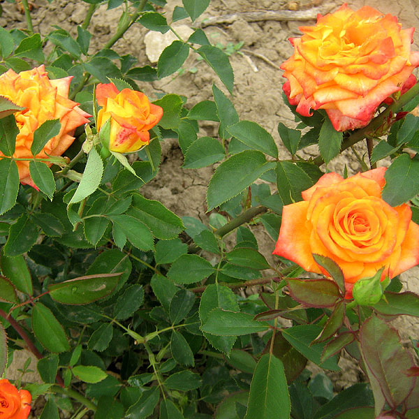 Rose  MIRACLE